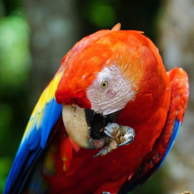 Scarlet Macaw papaan Orta ve Gney Amerikada ok sk rastlananhellip